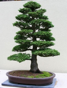 Chokkan Bonsai