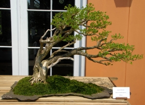 Fuginashi Bonsai