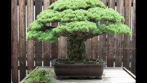 Hokidachi Bonsai