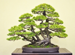 Kabudachi Bonsai