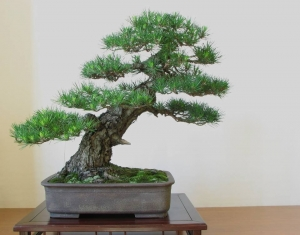 Shokan Bonsai