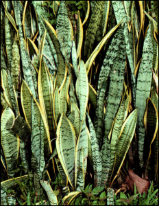 Sanseveria havayı en çok temizleme kapasitesine sahip iç mekan bitkilerinden başta gelenidir